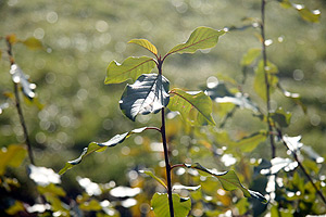 buske